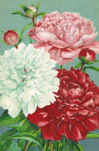 Carnations Antique Images Blogspot